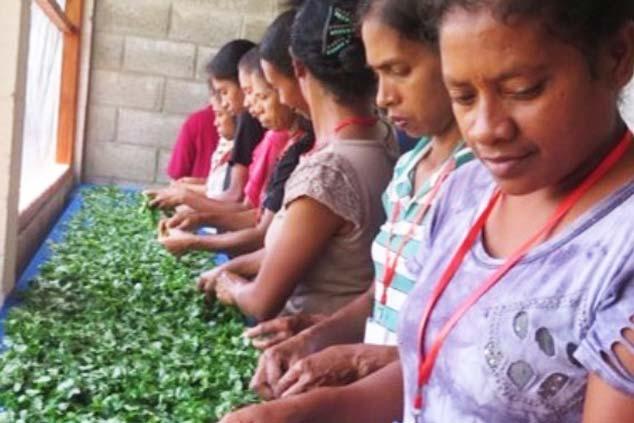 Using the Moringa Tree to Combat Malnutrition in Timor-Leste